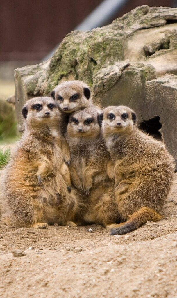 a group of meerkats huddle together in front of a log