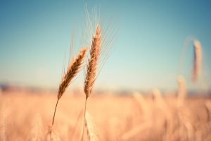 A close up of two stalks of wheat in a field