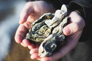 A pair of hands cradles some live oysters.