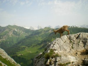 goat climbing a cliff with mountains in the background
