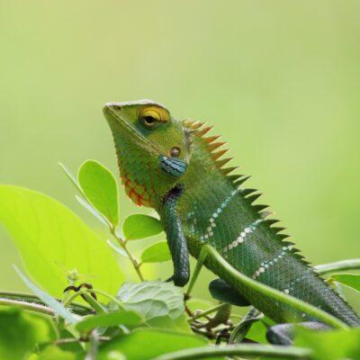 chameleon on a leaf
