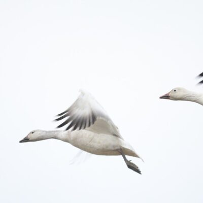 two white and gray birds flying across a background of gray sky