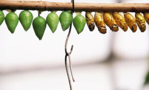 a row of chrysalises, some brown some green, hanging from a branch.