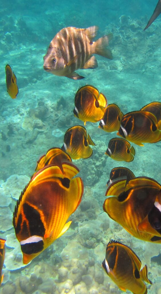 a school of orange and black tropical fish swim in blue water