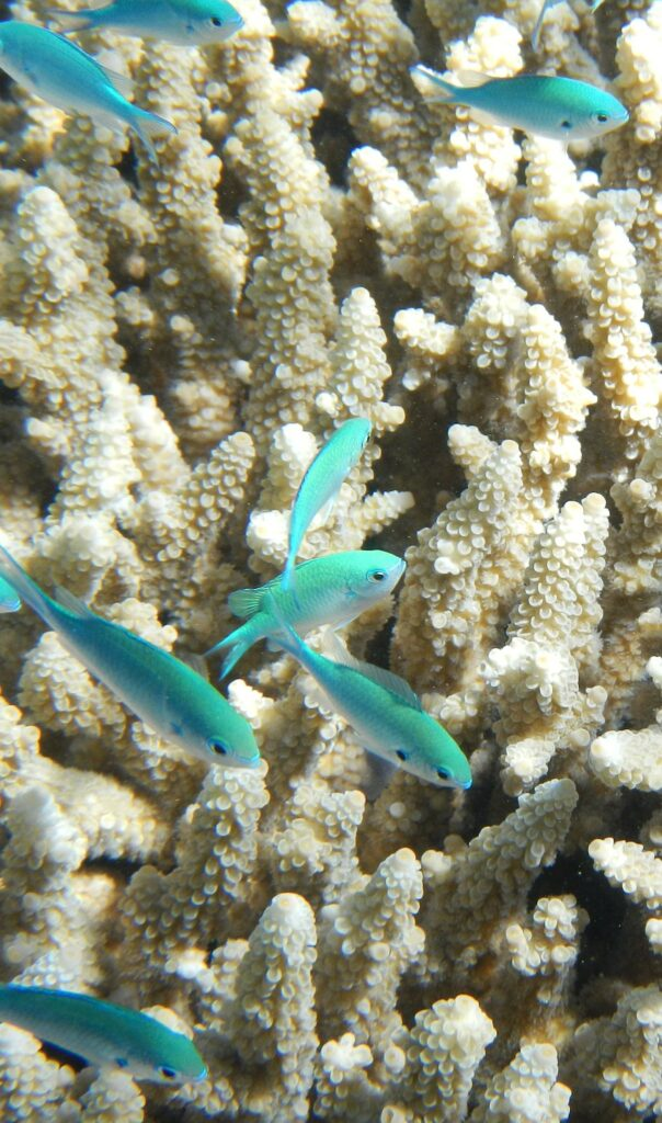 a school of small blue fish swim in front of a background of white coral