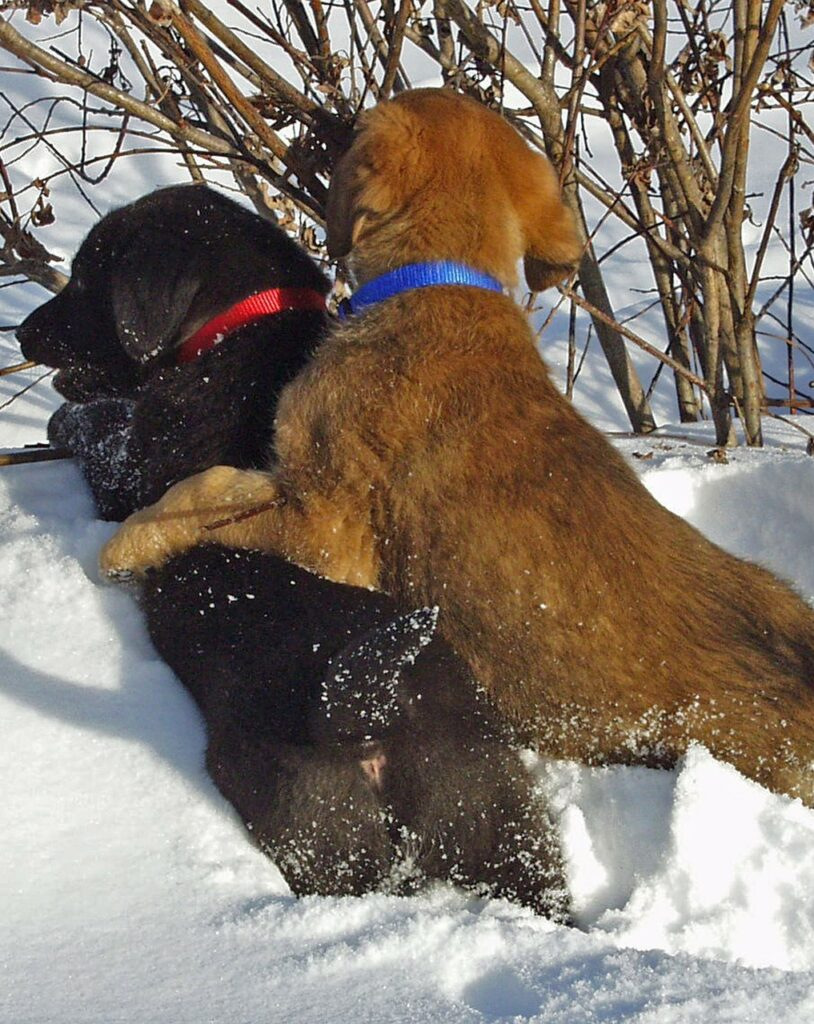 two puppies playing together in the snow
