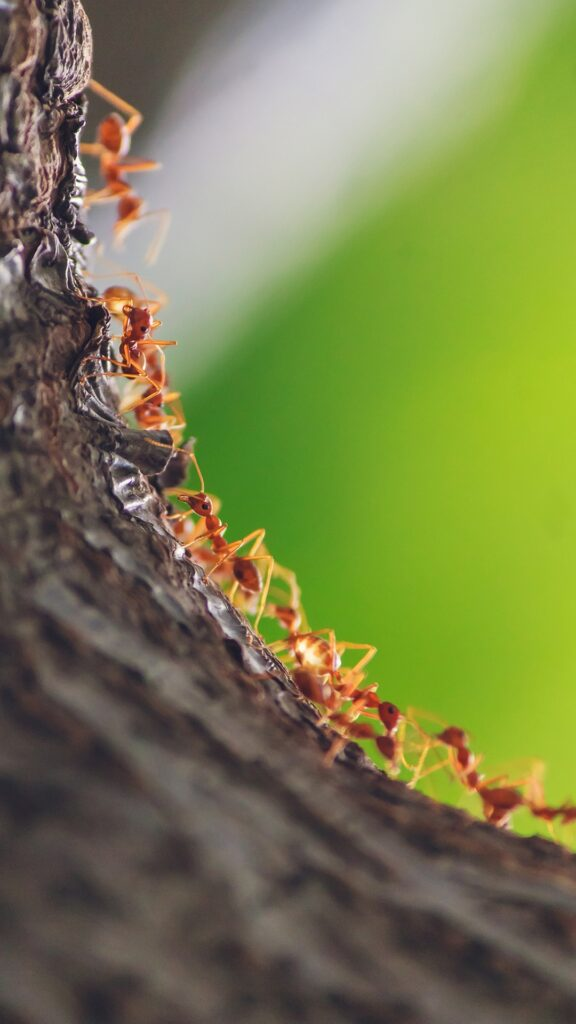 a line of worker ants makes its way down a tree branch